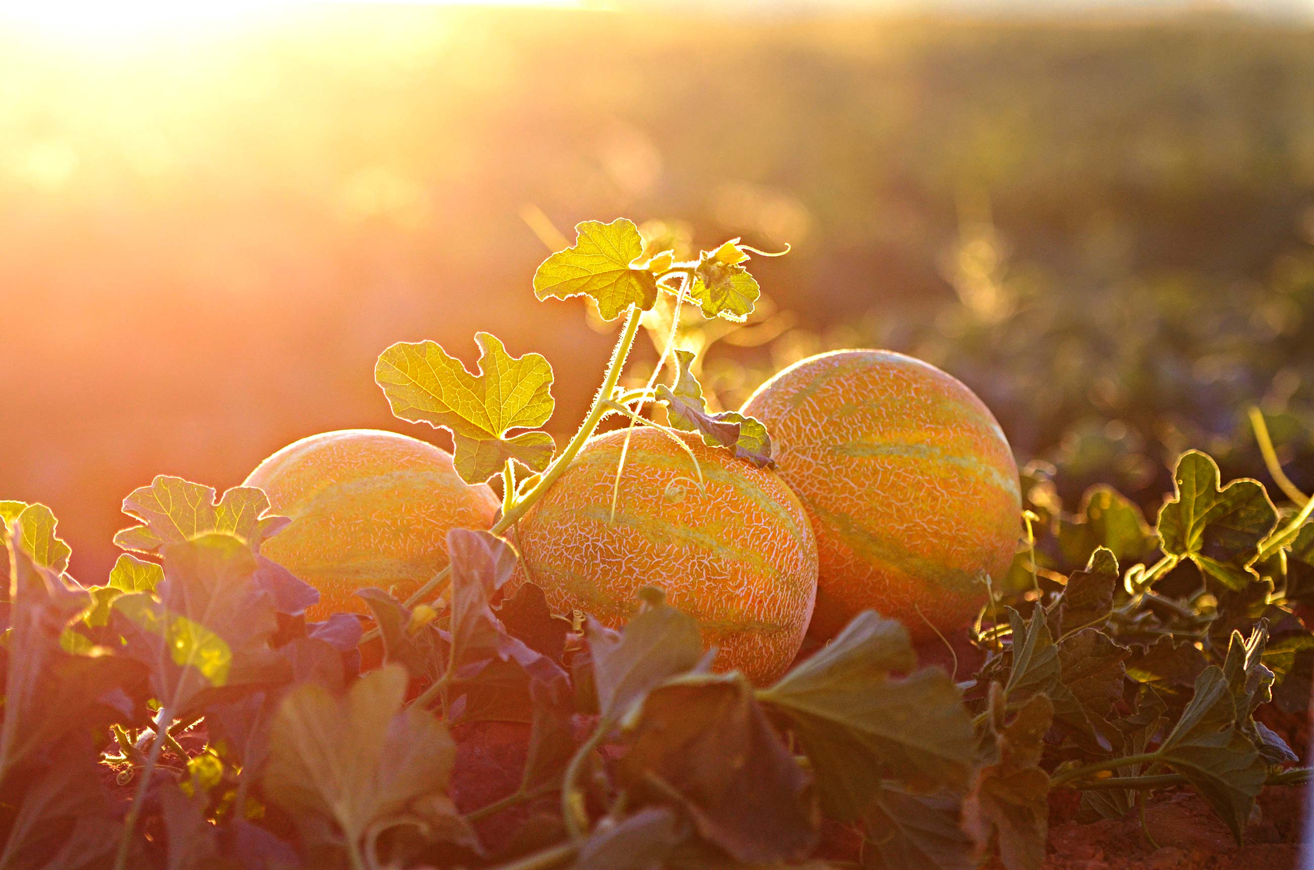 Closeup of Fisher Ranch melons in the field