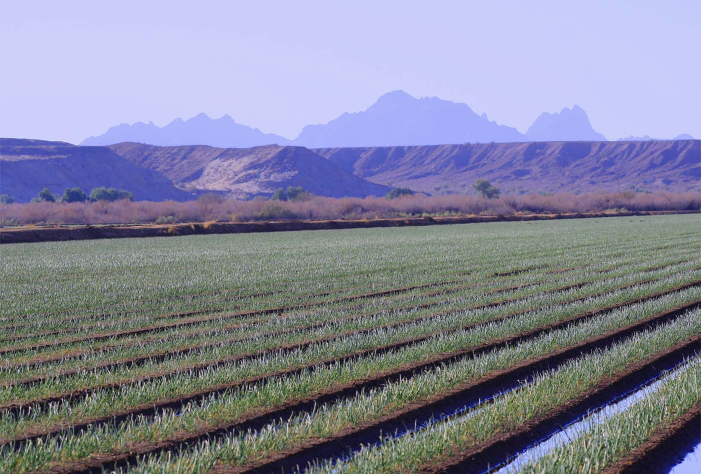 Onion field at Fisher Ranch Corp.
